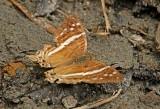 Marpesia crethon