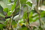 Slate-throated Gnatcatcher