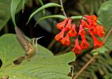 Speckled Hummingbird