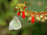 Butterfly-Mashpi2b.jpg
