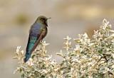 Blue-mantled Thornbill