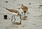 Semipalmated and Western Sandpipers