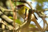 Rufous-browed Pepper-Shrike