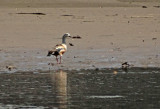Orinocco Goose