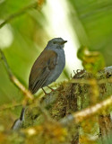 Andean Solitaire