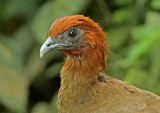 Rufous-headed Chachalaca