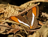 Butterfly Buenaventura