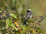 Black-crested Tit-Tyrant