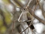 Tumbes Hummingbird