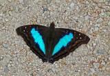 Butterfly Bombuscara1b