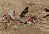 Butterflies Moyobamba