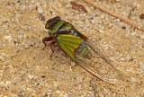 Cicada-Bombuscara.jpg