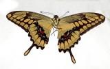 Butterfly Balzar