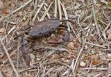 Crab Cordillera del Condor