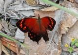Butterfly Cajanuma