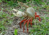 Crab Ayampe