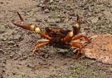Crab Yunguilla