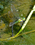 Dragonfly Yankuam