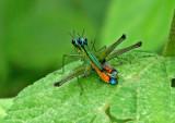 Grasshopper Yankuam