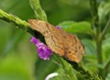 Butterfly Wildsumaco mars
