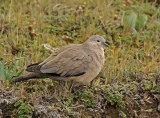 Black-winged Ground-Dove