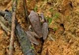 Pristimantis peruvianus
