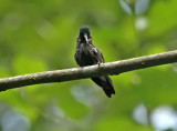 Pink-throated Brilliant