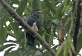 Red-throated Caracara