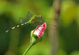 Dragonfly Balzar