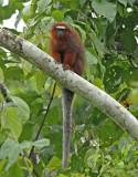Dusky Titi-Monkey