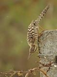 Fasciated Wren