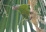 Gray-cheeked Parakeet