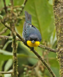 Purplish-mantled Tanager