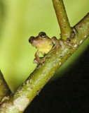 Frog Wildsumaco