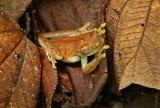 Hyloscirtus mashpi