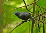 Slate-colored Antbird