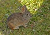 Brazilian Rabbit