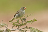 Drab Seedeater