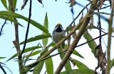 Golden-winged-Warbler.jpg