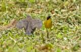 Shiny Cowbird and Yellowthroat