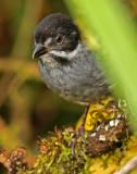 Slaty Brush-Finch