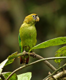 Scarlet-shouldered Parrotlet