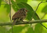 White-chested Puffbird