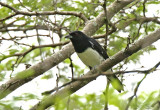 Black-and-white Tanager