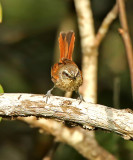 Necklaced Spinetail