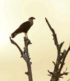 Northern Crested-Caracara