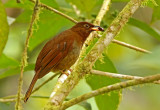 Rufous-brown Solitaire