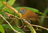 Uniform Antshrike