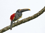 Stripe-billed Aracari
