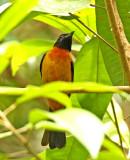 Fulvous Shrike-Tanager